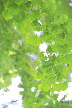 feuillage vert frais de ginkgo