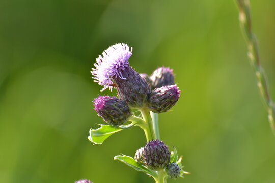 thistle in a nature area