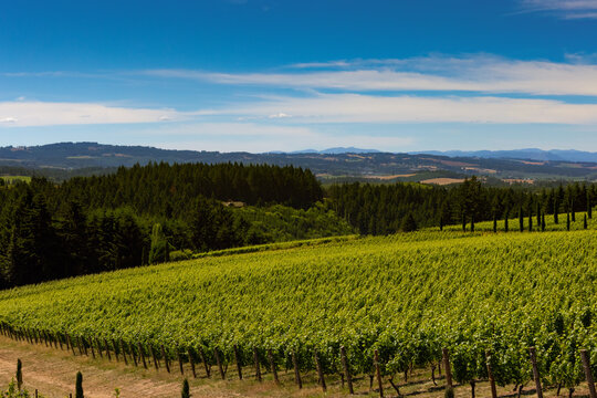 vineyard in willamette valley looking west to coast range