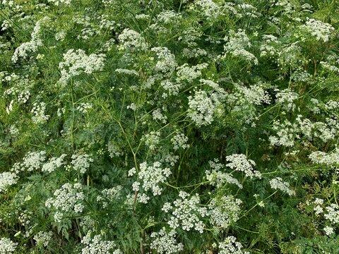 flowering caraway - meridian fennel - Persian cumin (Carum carvi) plants