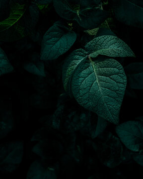 The deep green leaves of a potato plant