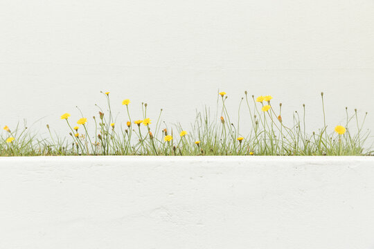 Yellow flowers in front of white walls