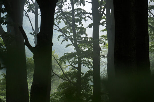 Trees silhouettes in a green forest, magical misty scene in a natural park