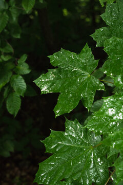 Close-up green wet leaves in a forest after rain