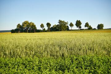 Fototapeta grain and trees, summer rural landscape, Polish countryside obraz