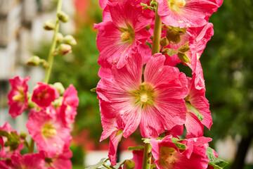 Obraz pink mallow, Alcea - fototapety do salonu
