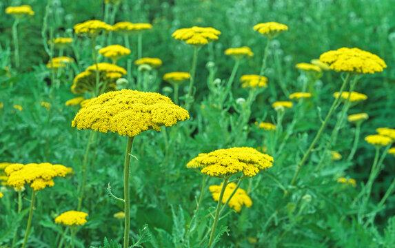 Field with flowering yellow yarrow Achillea filipendulina.
