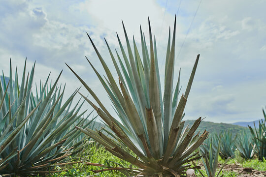 Plantación de agave azul en el campo para hacer tequila concepto industria tequilera