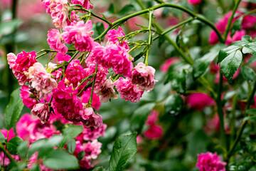 Obraz różyczka - fototapety do salonu