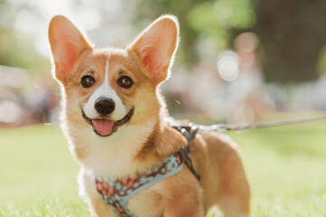 Fototapeta Portrait of a corgi puppy in summer on a background of grass on a sunny day obraz