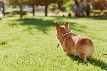 Fototapeta Portrait of a dog of the Corgi breed on a background of green grass on a sunny day in the park obraz