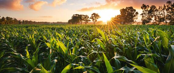 Fototapeta View of a corn field at the sunset obraz
