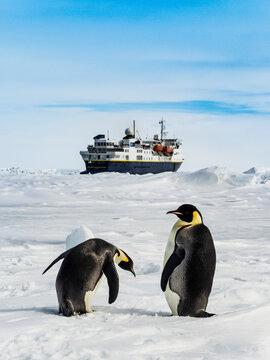 Emperor Penguins (Aptenodytes forsteri) and National Geographic Explorer, Weddell Sea, Antarctica