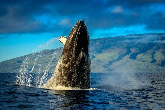 Humpback Whales (Megaptera novaeangliae), Maui, Hawaii
