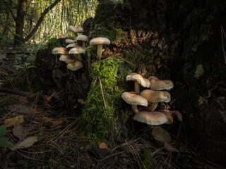 Obraz Grzyby rosnące na pniu drzewa - fototapety do salonu