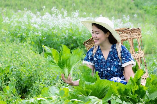 A Young farmer is happily picking organic lettuce fresh in garden. Organic farming.