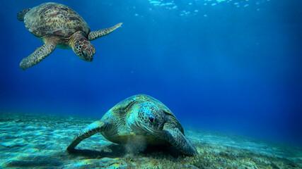 Obraz turtle swims underwater - fototapety do salonu