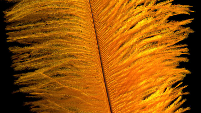 beautiful yellow feather on black background