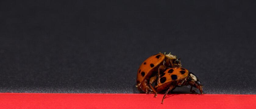 Marienkäfer paaren sich