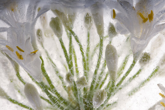 Weißes Agapanthus in Eis 3