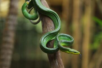 The gonyosoma green snake is a very low venom and harmless snake.