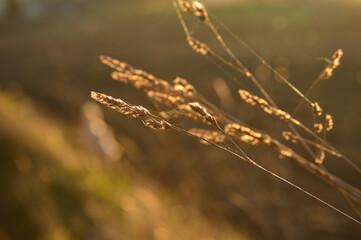 Obraz pszenica, rośliny, makro fotografia  - fototapety do salonu