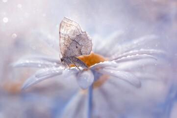 Obraz Motyl na stokrotce - fototapety do salonu