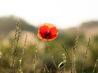 Fototapeta czerwony mak na łące w promieniach słońca  obraz