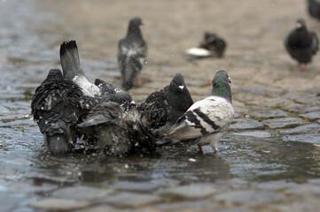 Obraz Stado kąpiących się gołębi w kałuży na kamiennym bruku - fototapety do salonu