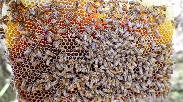 hive of bees for the production of honey