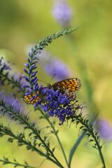 Obraz Polny kwiat i motylek - fototapety do salonu