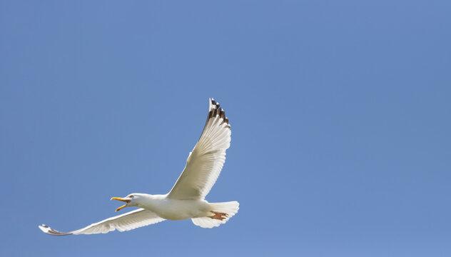seagull flies screaming across the sky