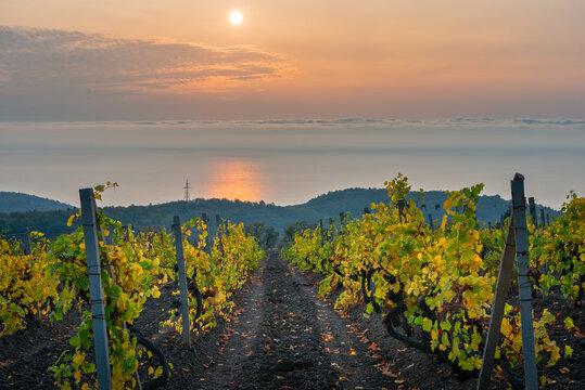 Vineyard on sea coast