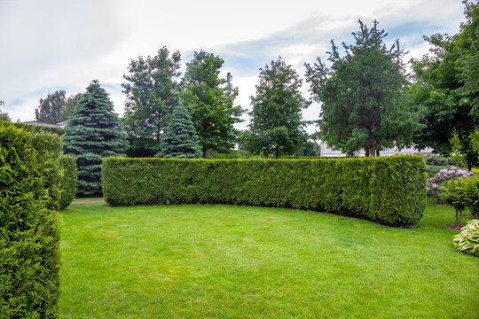 evergreen curved thuja hedge in a garden of trees with leaves and pine needles and a green lawn spring backyard landscape, nobody.