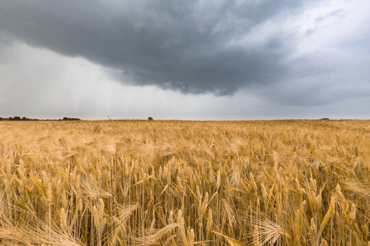 The yellow barley field under the dark stormy cloud sky. Rain ower the wheat field.