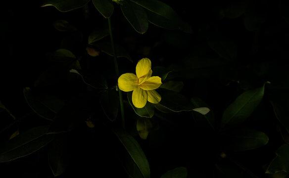 A flower called yellow jasmine, winter jasmine, wild jasmine and japanese jasmine