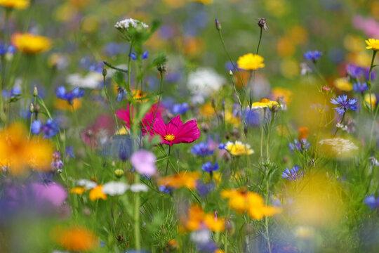 Bienenfreundliche Pflanzen mit bunten Blüten, Bienenweide mit Bienen, Hummeln