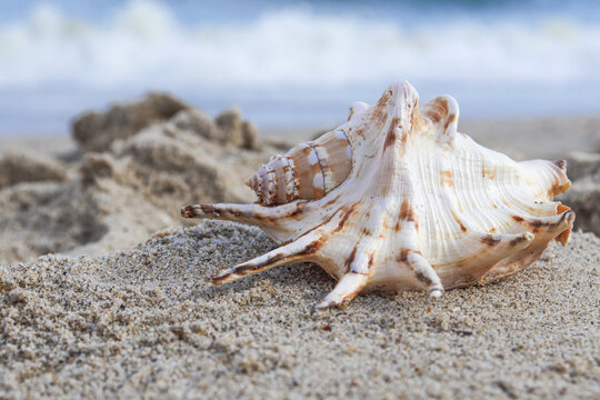 Seashells on a tropical seashore lying on the golden sand under the hot summer sun with copyspace. Sea shell conch on sand beach with blur image of blue sea and blue sky background. for travel summer
