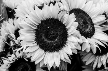 Obraz Close up of a sunflower in bloom. - fototapety do salonu