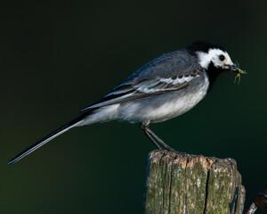 Fototapeta Pliszka na szczycie słupka ze starym gwoździem. Ptak w dziobie trzyma złapanego owada. obraz