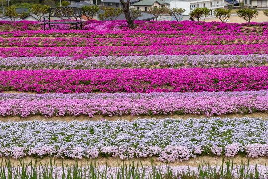 Bright Ground Pink flowers in the garden
