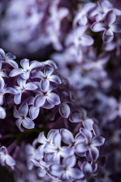 Lilac Blossoms ingredient in a garden