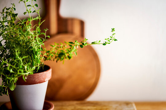 A uniquely shaped oregano plant sits on wooden a countertop with cutting boards and a white wall in the background.
