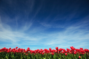Fototapeta Beautiful red tulip field in the Netherlands. Fantastic event wi obraz