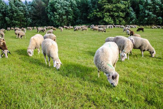 Sheep graze on a green meadow