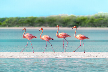 Four Flamingos walking across a sandbar in perfect unison