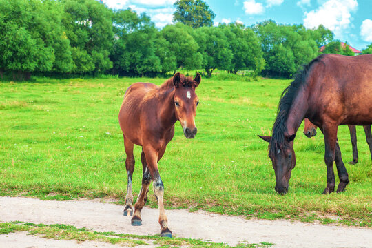 Brown foal and herd of horses grazing on green field