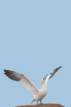Cover page with a wild North Atlantic gannet with span wings is ready to fly at blue sky solid background and copy space. Concept biodiversity, animal welfare and wildlife conservation.