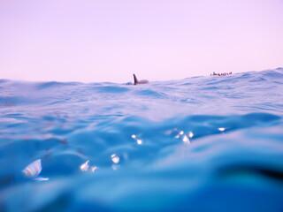 Fototapeta pack of spinner dolphins stenella longorostris in egypt coral reef lagoon sataya  obraz