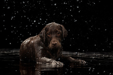 Obraz Portrait of chocolate color big Labrador Retriever dog in water splashes and drops posing isolated over dark background. Beauty and grace - fototapety do salonu